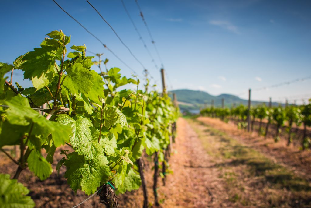 vineyard-waiting-for-the-first-grapes-picjumbo-com